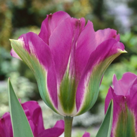 Тюльпан Виридифлора Violet Bird