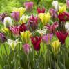 Тюльпани Вірідіфлора суміш