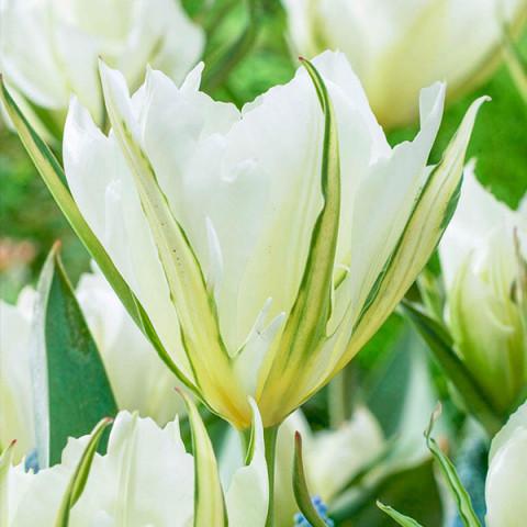 Тюльпан Виридифлора White Valley