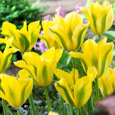 Тюльпан Виридифлора Yellow Springgreen