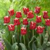 Тюльпан Волнистый Elegant Crown