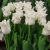 Тюльпан Волнистый White Liberstar