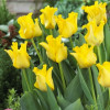 Тюльпан Волнистый Yellow Crown