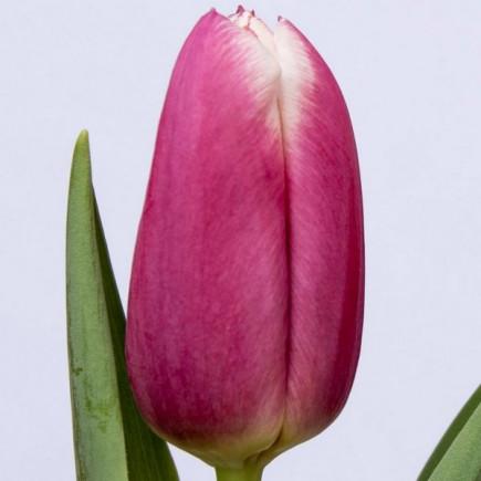 Тюльпан Триумф Danija (premium)