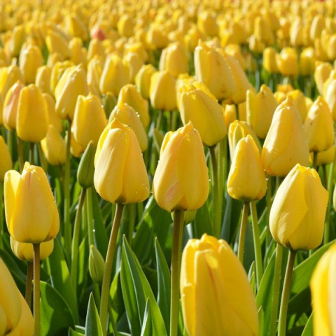 Тюльпан Гібрид Дарвина Golden Parade (premium)