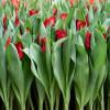 Тюльпан Бахромчатый Indiana (premium)