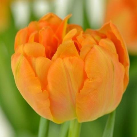 Тюльпан Махровый + Многоцветковый Orca  (premium)