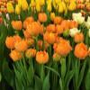 Тюльпан Махровий + Багатоквітковий Orca  (premium)