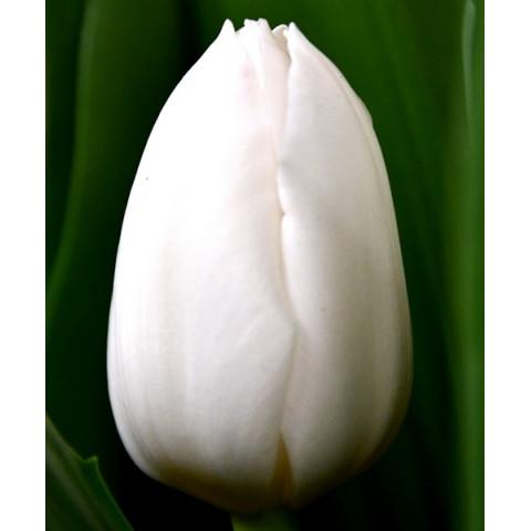 Тюльпан Триумф Royal Virgin (premium)