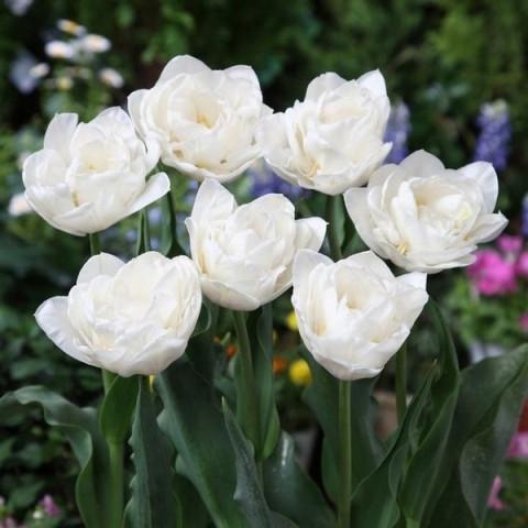 Тюльпан Махровый White Heart (premium)