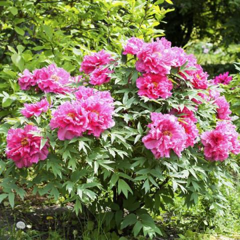 Пион древовидный Темно-розовый (Full chojuraku)