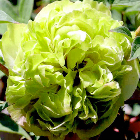 Пион Green Jade Lu Mu Ying Yu