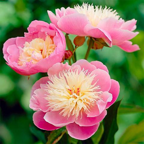 Пион травянистый Bowl of Beauty