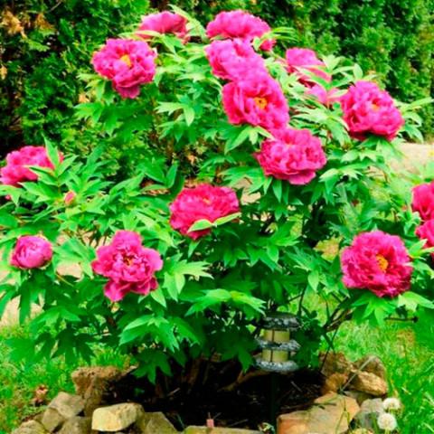 Півонія деревовидна Темно-рожева (Full chojuraku)