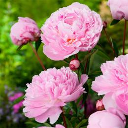 Пион травянистый Sarah Bernhardt