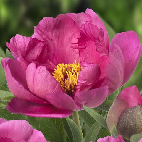 Пион ИТО Pink Ardour