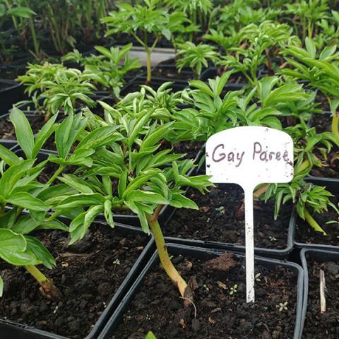 Пион травянистый Gay Paree (контейнер 3 л)