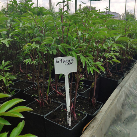 Пион травянистый Karl Rosenfield (контейнер 3 л)