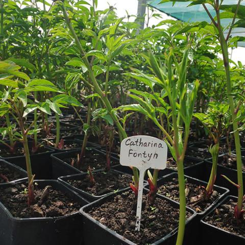 Пион травянистый Catharina Fontyn (контейнер 3 л)