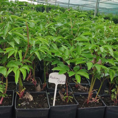 Пион травянистый Madame Calot (контейнер 3 л)