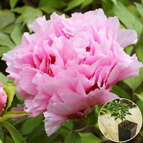 Пион древовидный Светло-розовый (Yin hong liao dui) (контейнер 3 л)