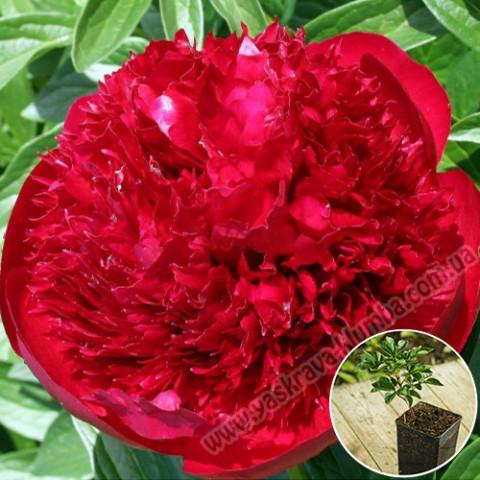 Пион травянистый Red Charm (контейнер 3 л)