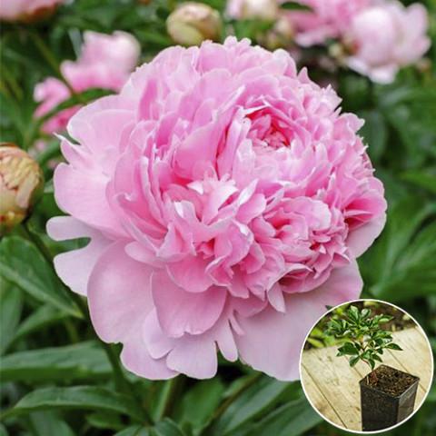 Пион травянистый Sarah Bernhardt (контейнер 3 л)