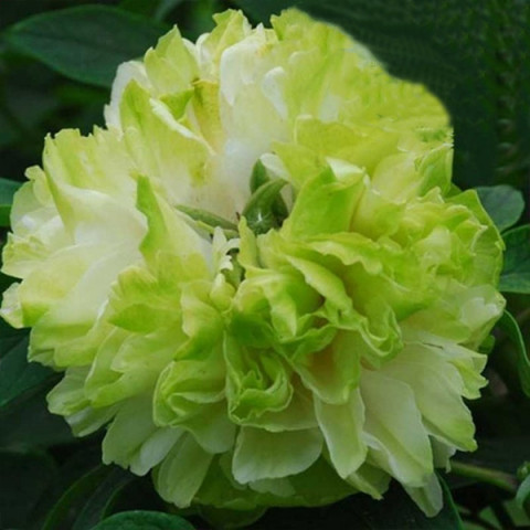 Пион Spring Willow Chun Liu