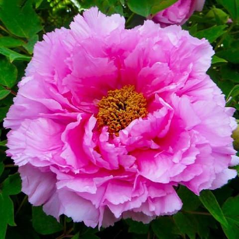 Пион Pink Water-lily Rou Fu Rong