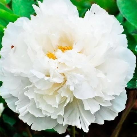 Пион White Snow Bai Xue Gong Zh
