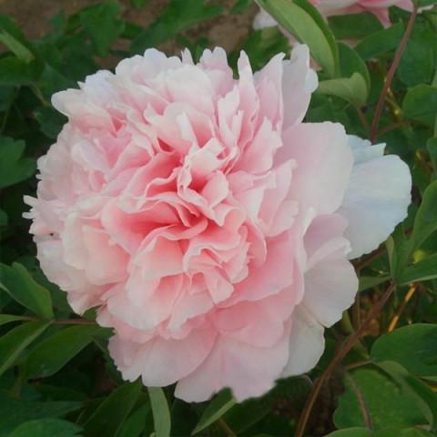 Пион Zhaos Pink Zhao Fen