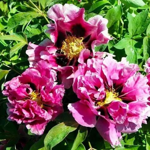 Пион Рока Full of Pink Flowers