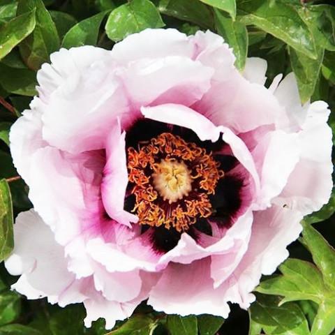 Пион Рока Icy Heart Pink Lotus