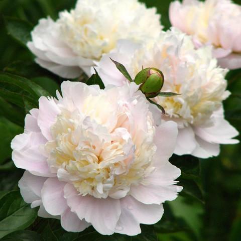 Пион травянистый Shirley Temple (контейнер 3 л)