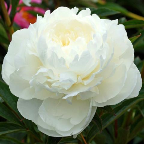 Півонія White Sarah Bernhardt