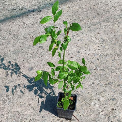 Голубика (Черника садовая) Блюголд (контейнер 1 л)