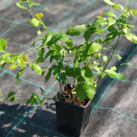 Голубика (Черника садовая) Чандлер (контейнер 1 л)