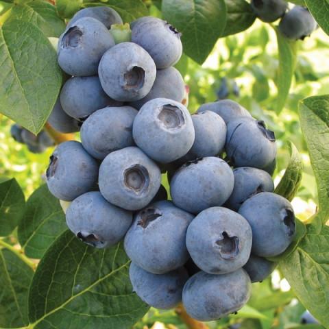 Лохина (Чорниця садова) Блакитна Розсип