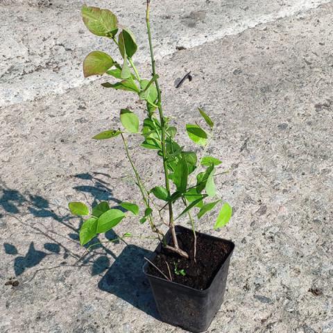 Лохина (Чорниця садова)  Бріджита Блю (контейнер 1 л)