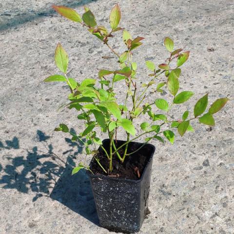 Лохина (Чорниця садова) Патріот (контейнер 1 л)