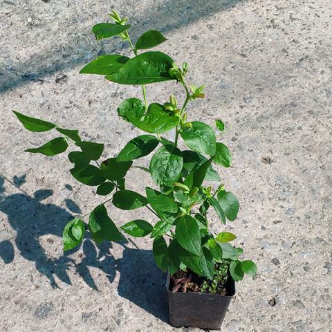 Лохина (Чорниця садова) Торо  (контейнер 1 л)