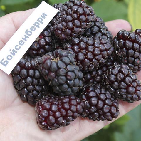 Ожиномалина Boysenberry (Бойсенберрі)