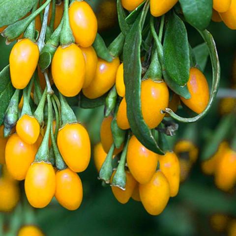 Ягоды Годжи Golden Berry (Голден Берри) контейнер 0.5 л