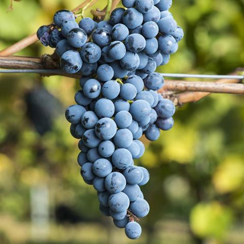 Виноград Августа винный