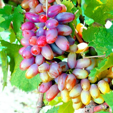 Байконур виноград