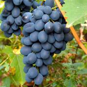 Виноград средние сорта