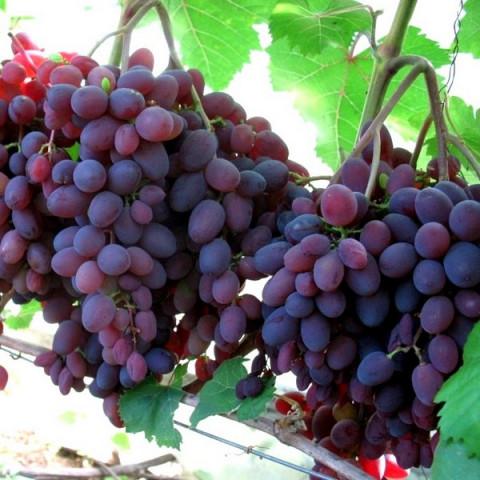 Виноград кишмиш Запорізький