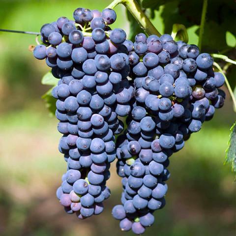 Виноград Маркет винный