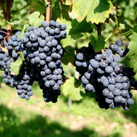 Виноград Мускат Блау винный