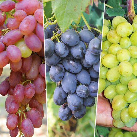 Комплект саженцев винограда Апетитные гиганты